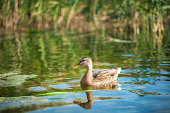 Birds and animals in wildlife concept. Amazing mallard duck swims in lake or river with blue water under sunlight landscape.