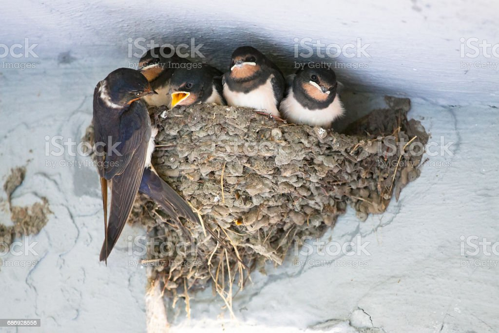 Birds and animals in wildlife. The swallow feeds the baby birds nesting stock photo