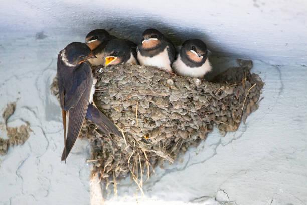 Vogels en dieren in het wild levende dieren. De zwaluw voedt de baby vogels nesten foto