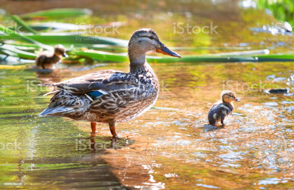 Birds and animals in wildlife. Mama duck learns to swim little...