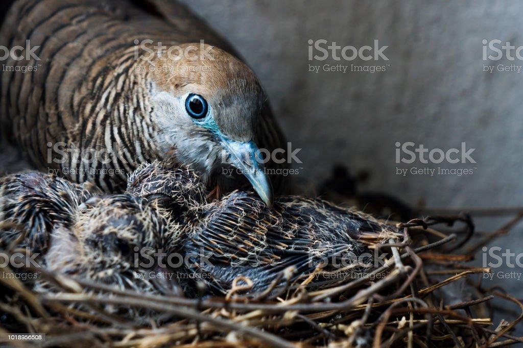 Birds and nest.Mother bird care birds.