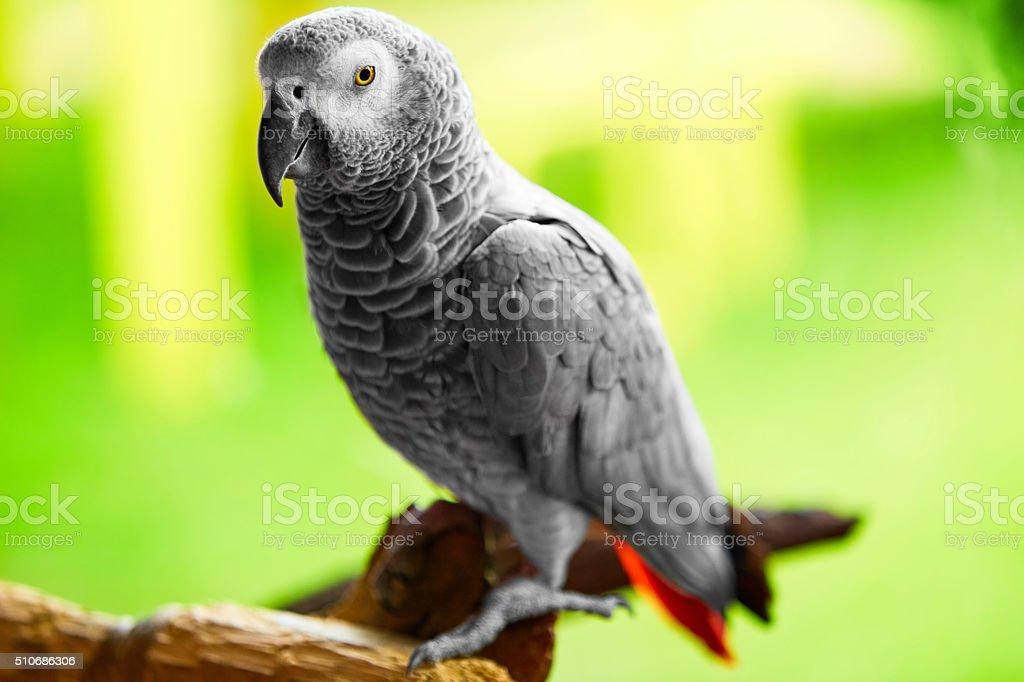 Birds, Animals. African Grey Parrot, Jako. Travel, Tourism. Thailand stock photo