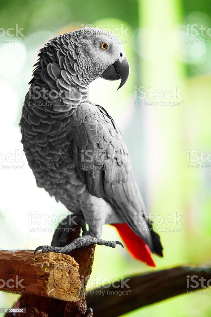 Birds, Animals. Closeup Portrait Of African Grey Parrot Or Jako....