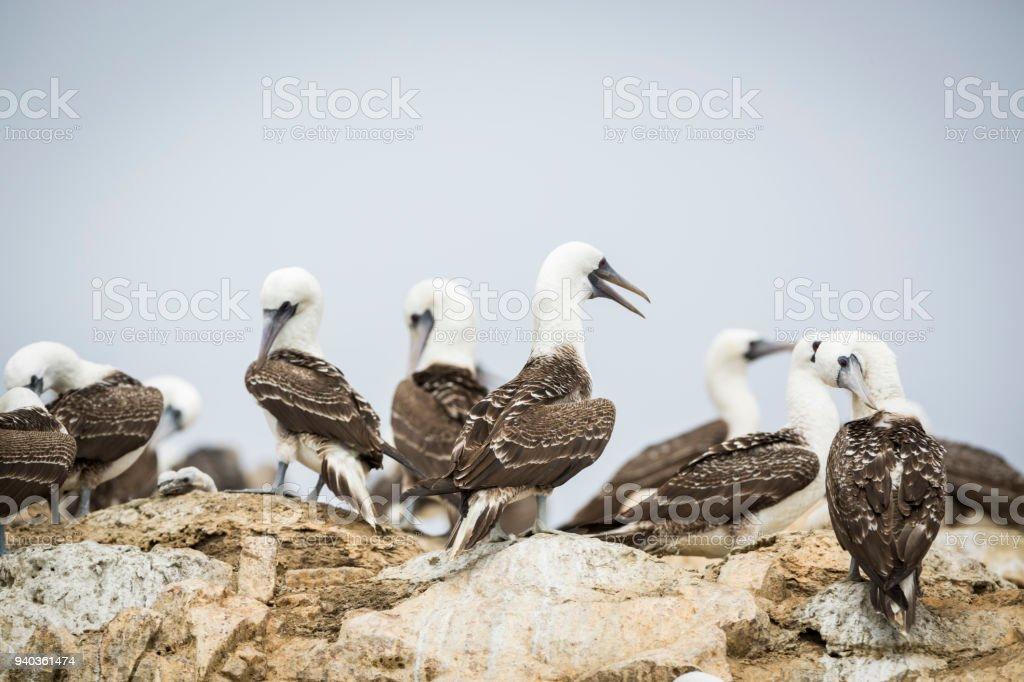 Birds at Ballestas Islands. stock photo