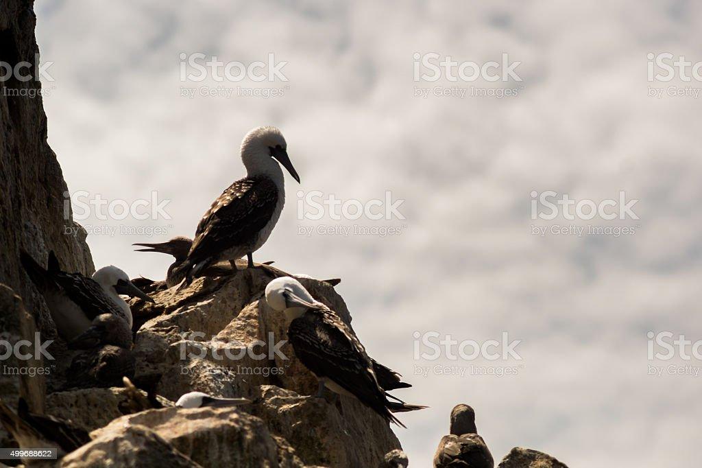 Birds at Isla Ballestas stock photo