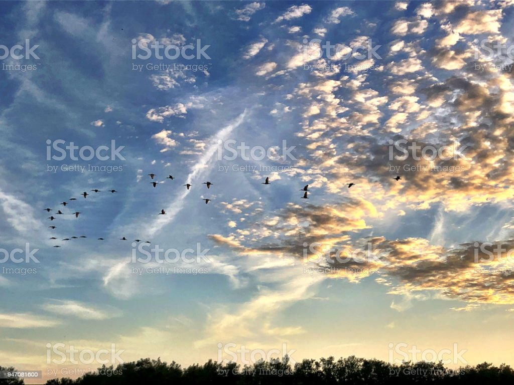 birds flying in the swamp sky at sunset