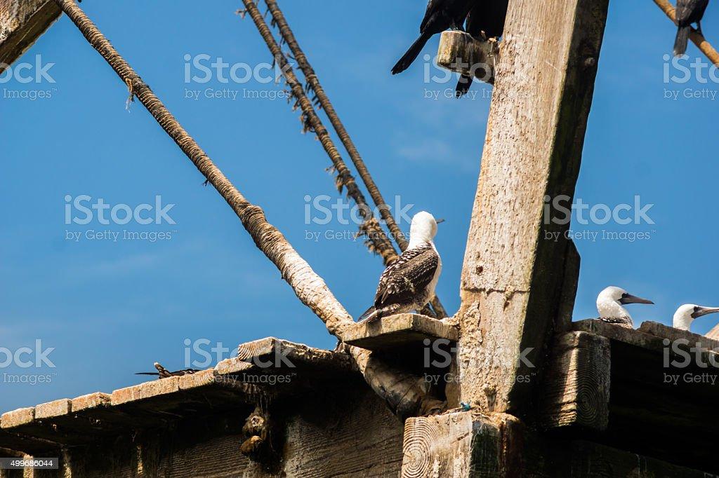 Birds at wooden structure at Isla Ballestas stock photo