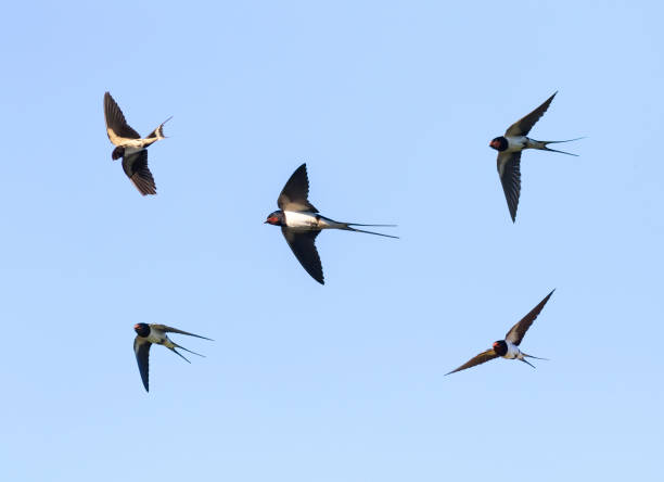 birds barn swallows fly in the blue sky widely spread its wings - rondine foto e immagini stock