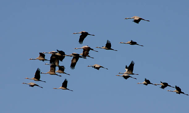 Birds Cranes Migration stock photo