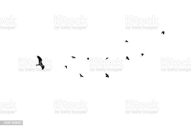 Birds different sizes isolated flock black crow at white background picture id1009183652?b=1&k=6&m=1009183652&s=612x612&h=niovbuqjqxejtgngcf qdqt87k3i3rzngeprhksurf8=