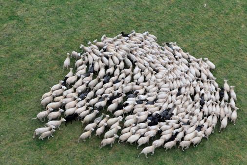 Birds eye view of a herd of sheep