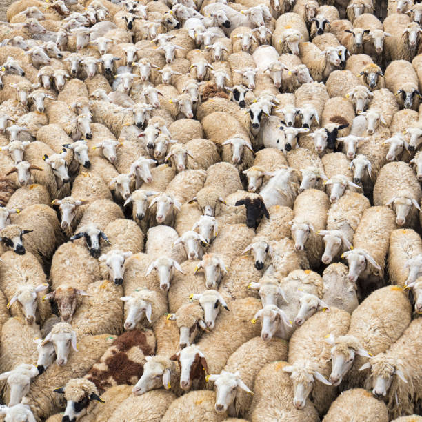 Birds eye view of a herd of sheep - foto stock