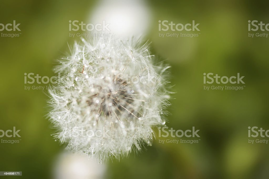 bird's eye view of blowball blossom with water drops royalty-free stock photo