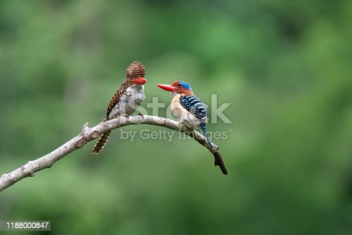 Beautiful Pair of Banded kingfisher peaching together , blurred bokeh forest background, Thailand. Birds falling in love