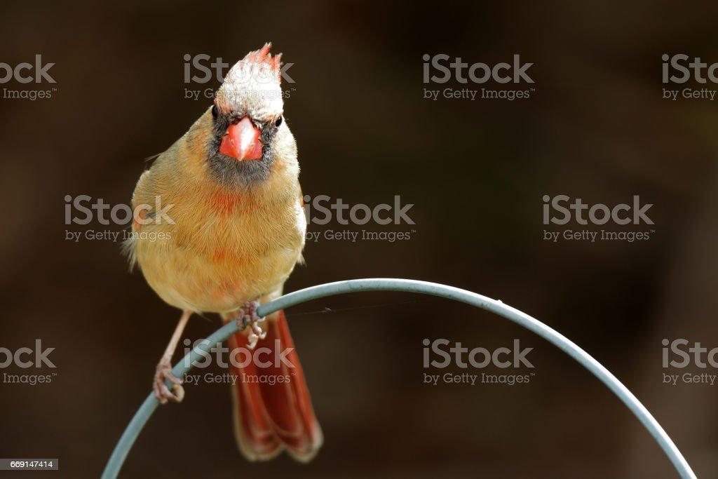 Birds: Female REd Cardinal stock photo