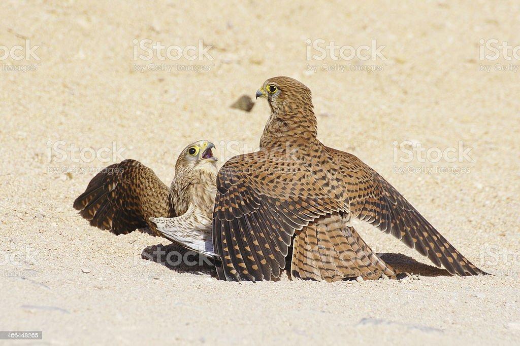 Bird's fight royalty-free stock photo