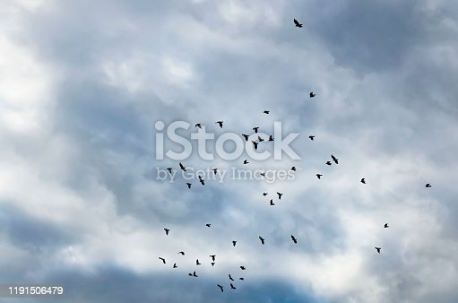 Black birds or crows in dark sky. Many small birds. Fly high in gloomy fall sky with clouds on background. Birds fly to warmer lands. Migratory birds concept