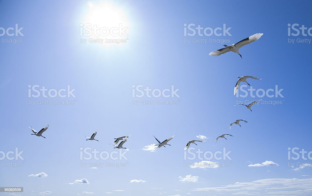 Birds flying in a curved formation stock photo