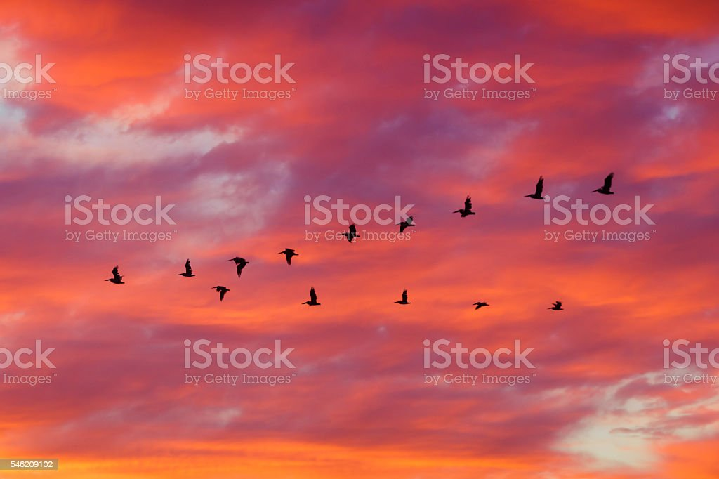 Birds flying in formation at Sunset stock photo