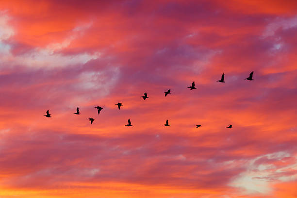 birds flying in formation at sunset - 鳥 ストックフォトと画像