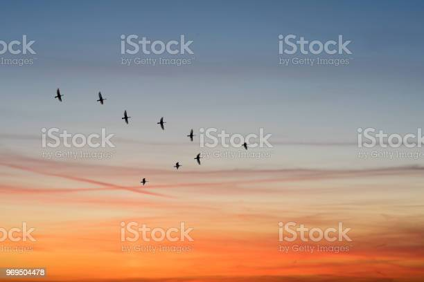 Birds flying in the shape of v on the cloudy sunset sky bottom view picture id969504478?b=1&k=6&m=969504478&s=612x612&h=oh00hhxzqc7tzieun7k0rkcd1b1uftcftpn3s7t hs0=