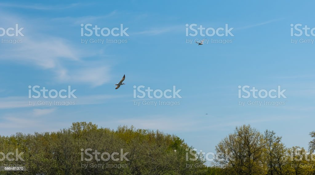 Birds flying in the sky above green trees stock photo