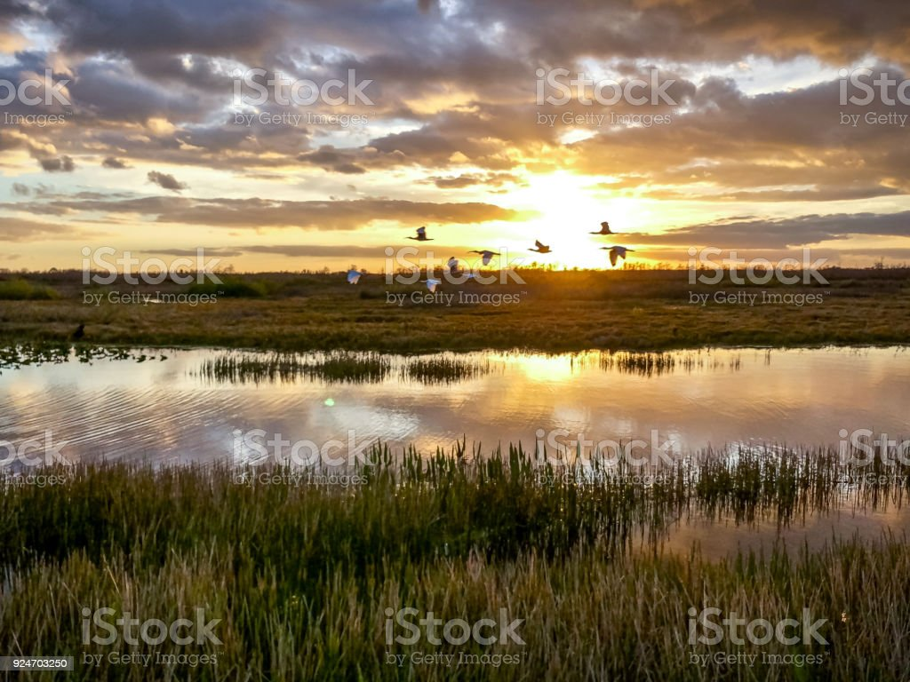 birds flying in the sunset swamp stock photo