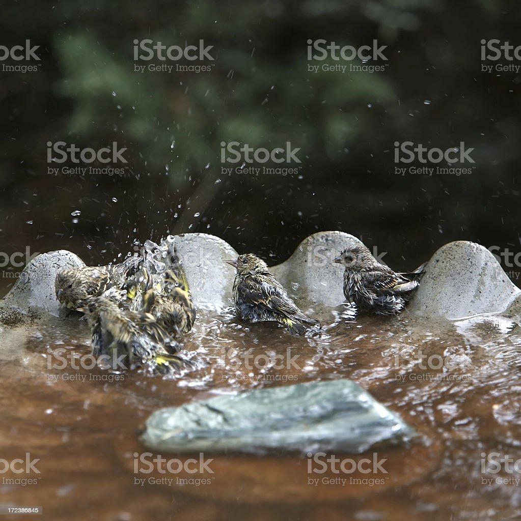 Birds Frolicking In The Birdbath stock photo