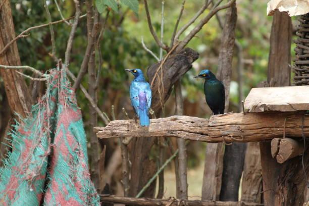 Birds in Ethiopia stock photo