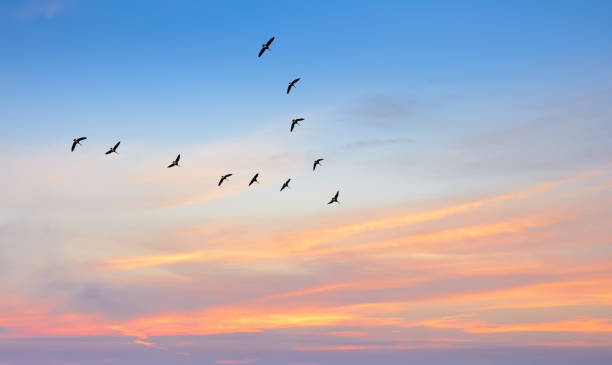 birds in flight against beautiful sky background - crane bird stock pictures, royalty-free photos & images
