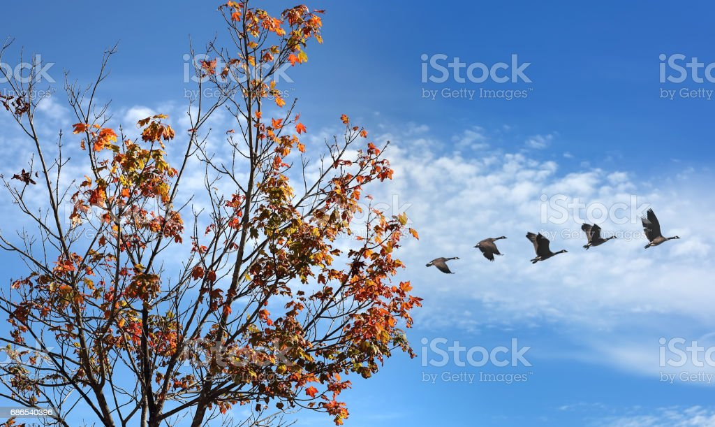 Birds in flight against bright autumn background foto stock royalty-free