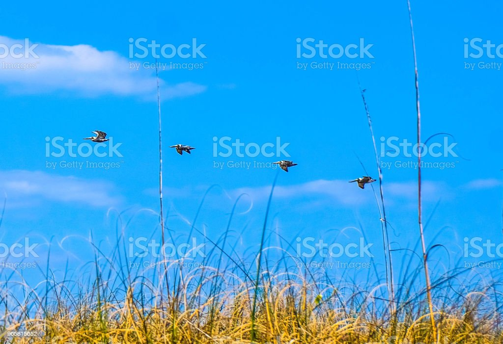 Vogels in vlucht over strand gras. Wrightsville Beach North Carolina. - Royalty-free Achtergrond - Thema Stockfoto
