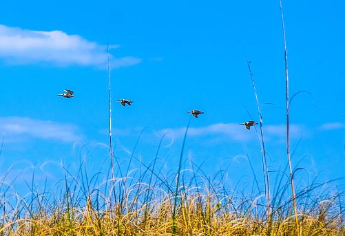Vogels In Vlucht Over Strand Gras Wrightsville Beach North Carolina Stockfoto en meer beelden van Achtergrond - Thema