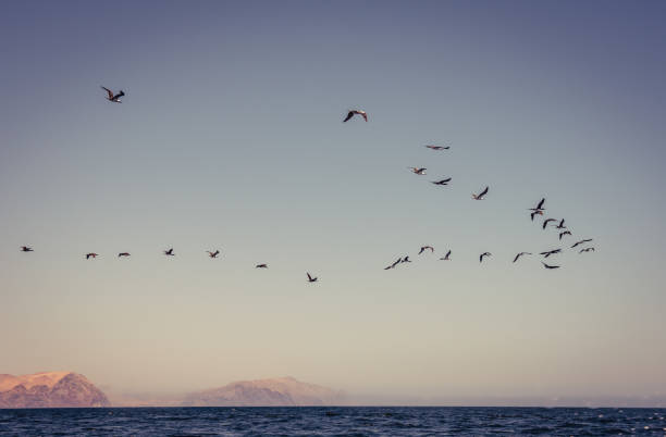 Birds in Flight A flock of birds in flight over the Pacific Ocean with a Peruvian desert in the background. pisco peru stock pictures, royalty-free photos & images