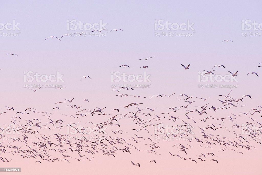 Birds in Flight Flock of birds in flight  2015 Stock Photo