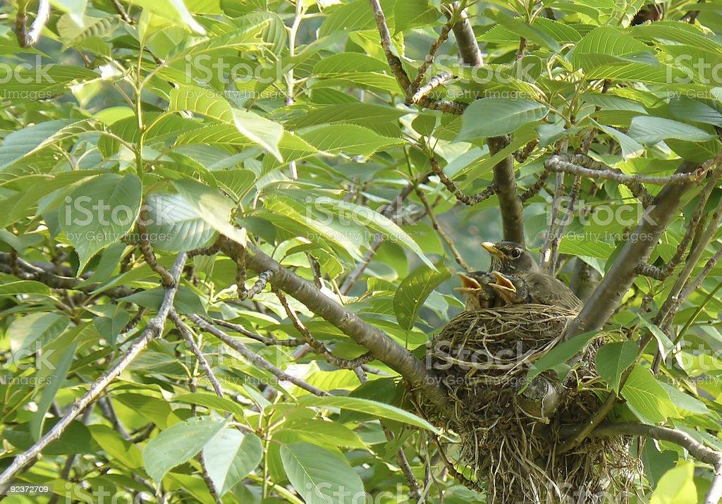 Birds in Nest royalty-free stock photo