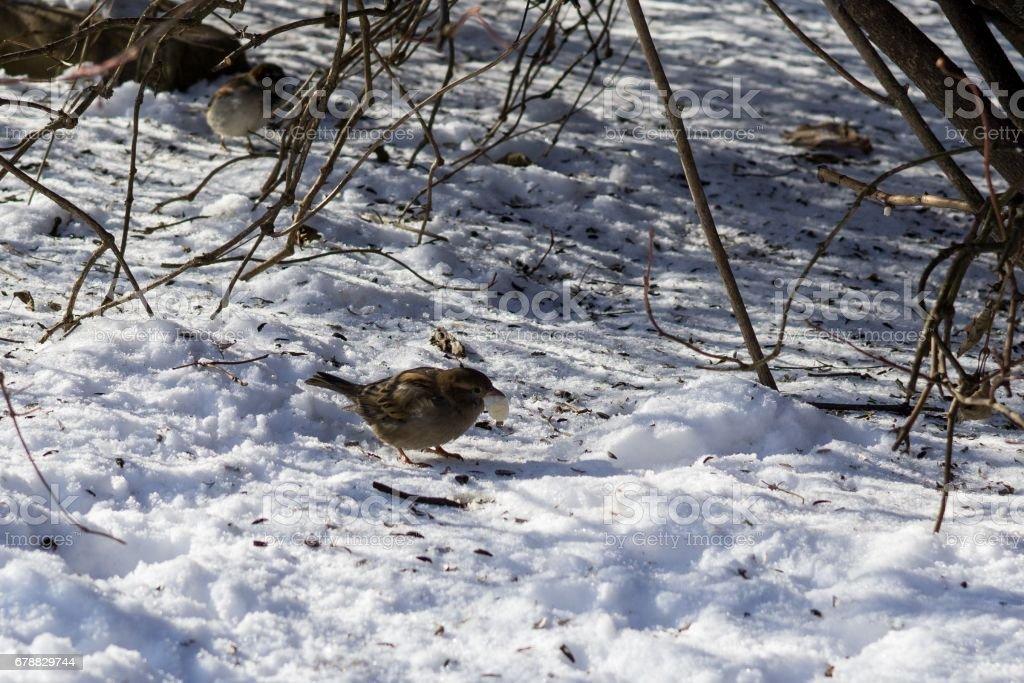 Birds in the bushes during winter. photo libre de droits
