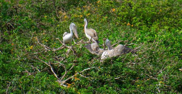 birds in vedanthangal village birds taken at vedanthangal village and sanctuary tamil nadu india adjutant stock pictures, royalty-free photos & images