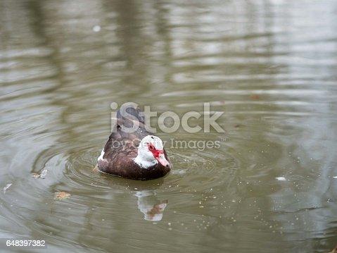 Birds in wildlife. View of a duck bird in park. beautiful mallard duck in the water.