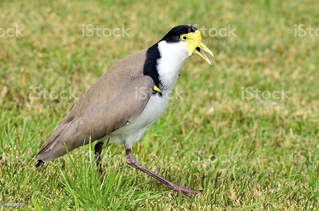 Birds - Masked Lapwing stock photo