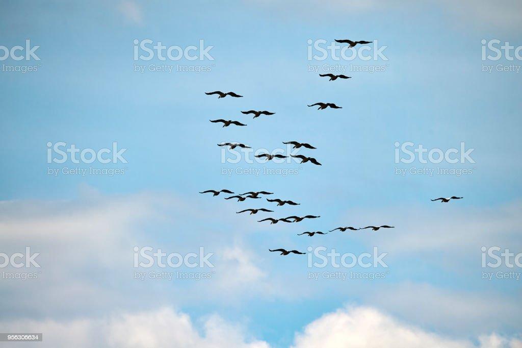 flock of birds migrating in spring sky. nature background.