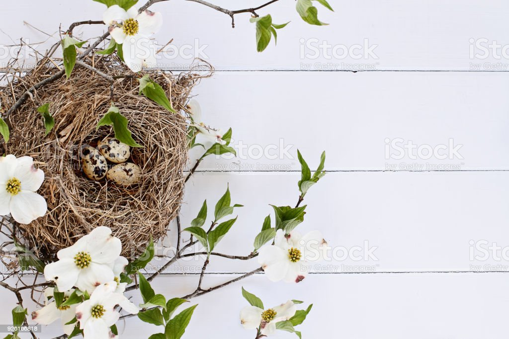Bird's Nest and Eggs with Dogwood Branches stock photo
