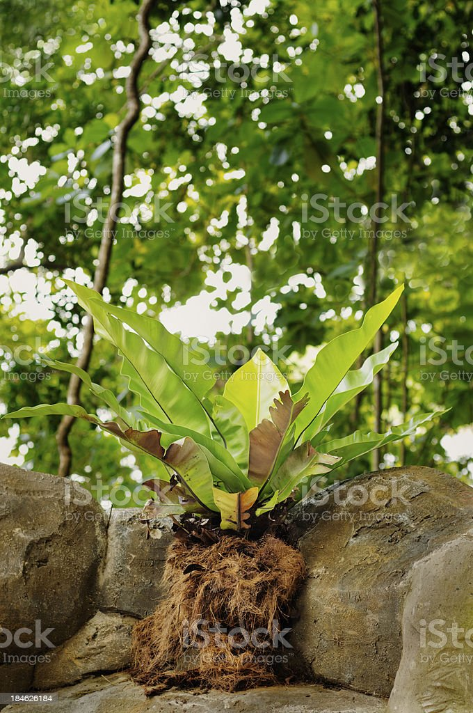 Bird's nest fern in jungle stock photo