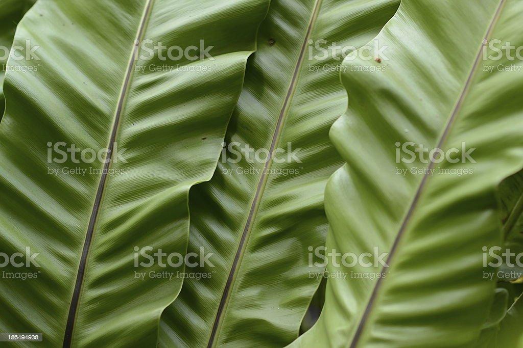 Bird's nest fern royalty-free stock photo