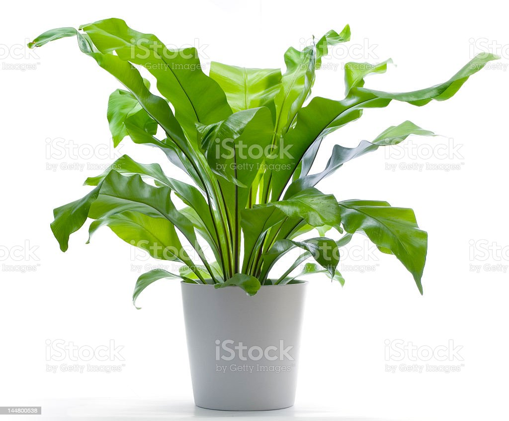 A Birds Nest Fern planted in a white pot stock photo