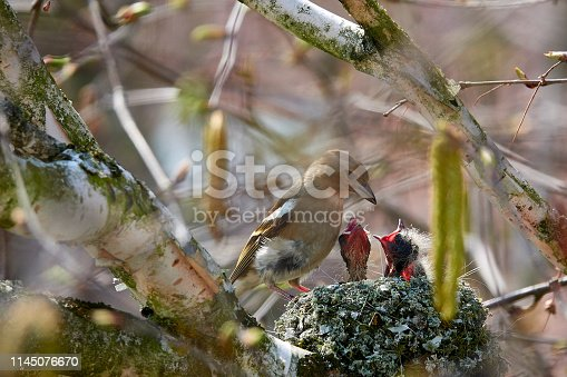Bird's nest: Mother feeding the offspring