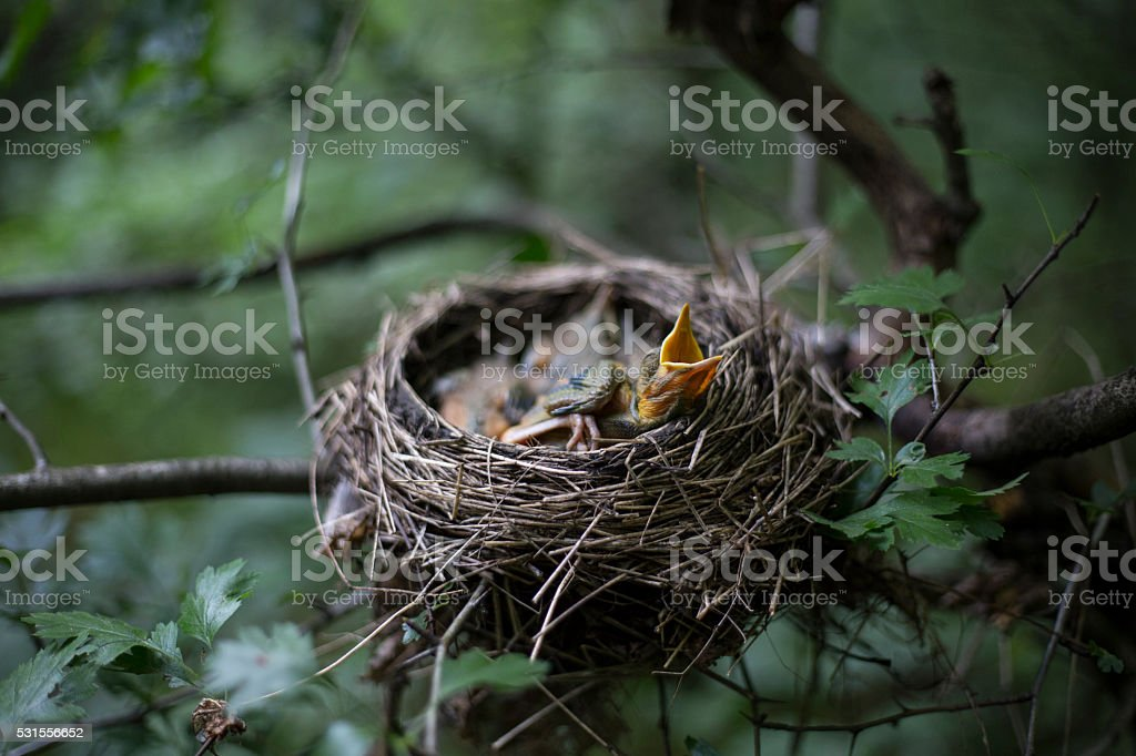 Bird's nest with chicks in a tree. stock photo