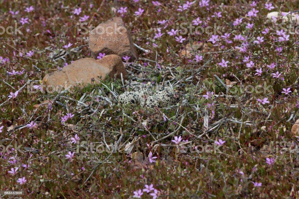 Nid d'oiseau avec quatre œufs photo libre de droits