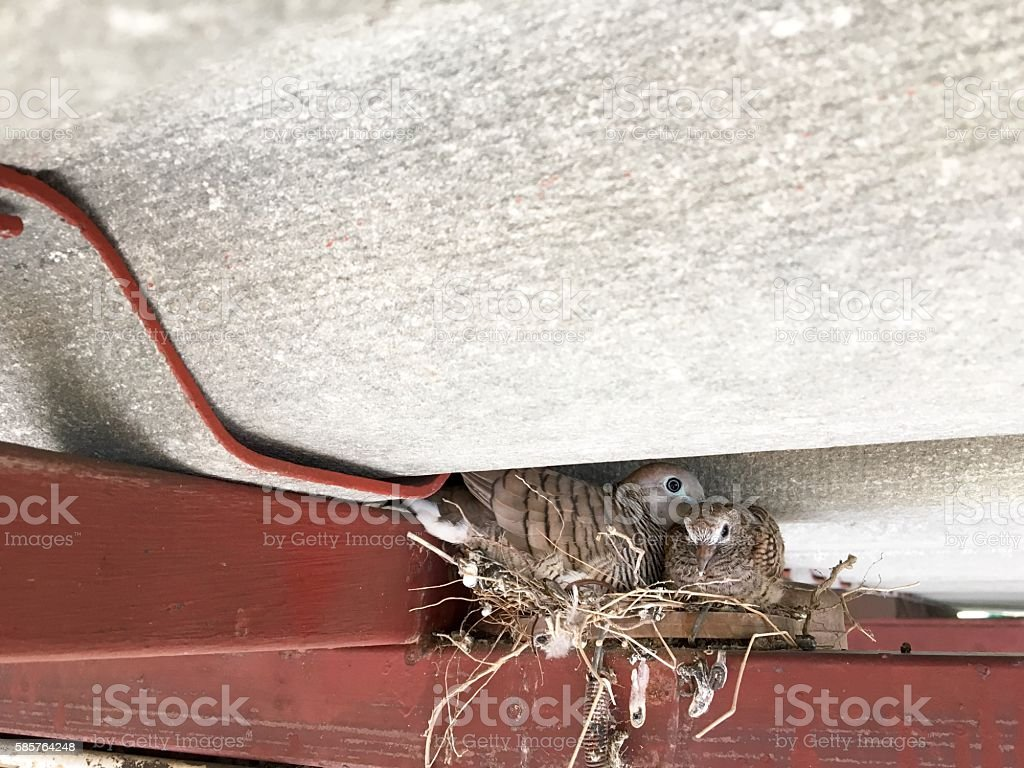 Birds nestlings in attic stock photo