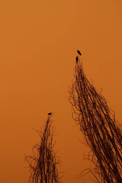 Birds of doom Silhouetted crows on a tree against a despairing orange sky aegis stock pictures, royalty-free photos & images